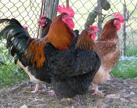 La Marans, la gallina dalle uova d'oro