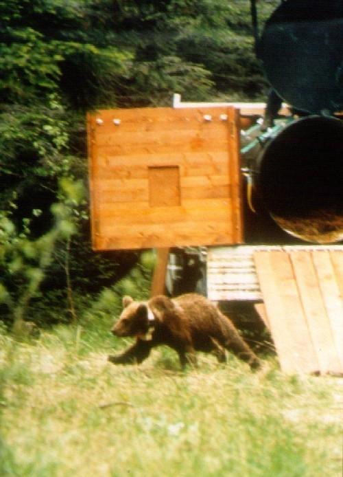 Rilascio dell'orsa Kirka
