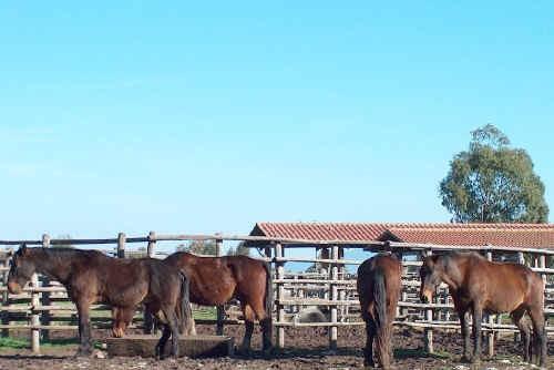 Cavalli Maremmani