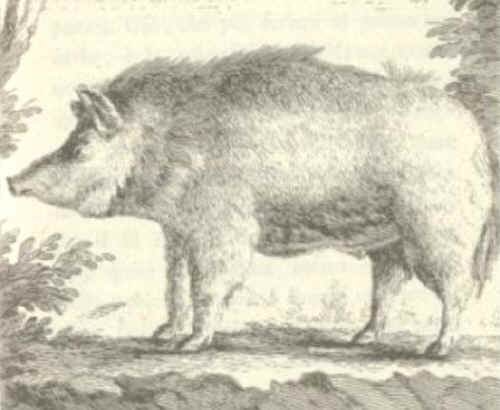 Il maiale Sardo disegnato dal Cetti