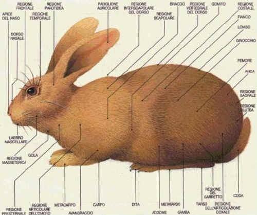 Morfologia regionale del Coniglio