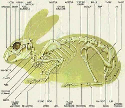 Scheletro del Coniglio