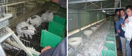 Riproduttori e conigli all'ingrasso