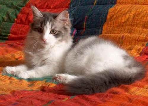 Gattina Siberiana