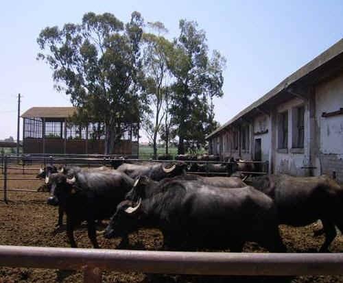 Bufale nella zona del paddock