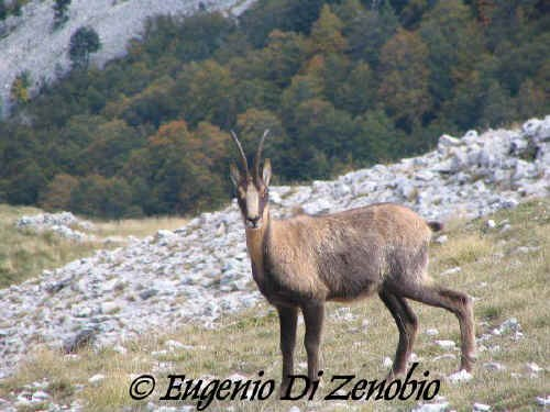 Femmina di Camoscio d'Abruzzo