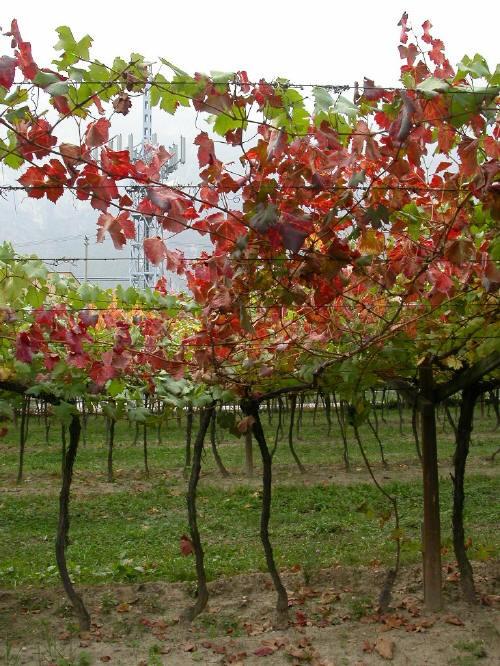Arrossamento precoce causato da marciume radicale su pianta di vite
