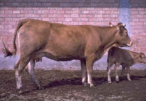 Vacca Limousine con vitello