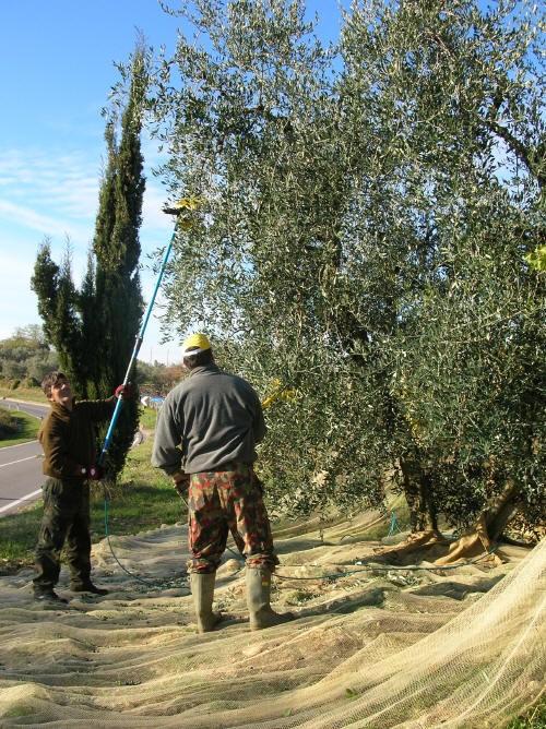 Raccogliamo le olive