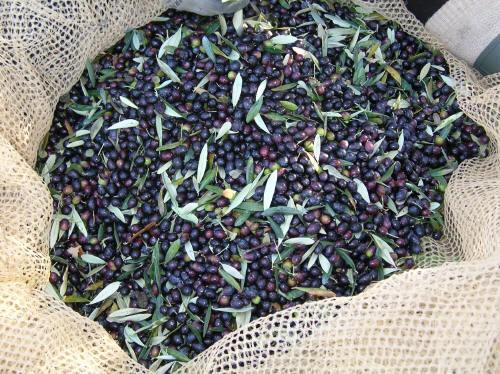 Olive pronte per essere incassettate