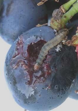 Larva di Lobesia botrana