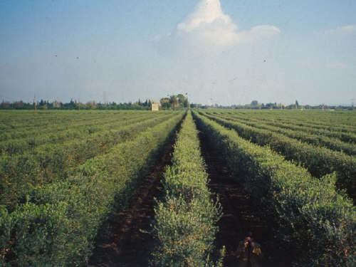 Modello innovativo di olivicoltura superintensiva