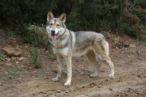 Il Cane Lupo di Saarloos finalmente in Italia