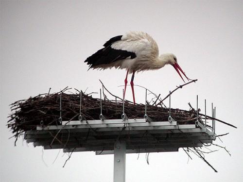 Femmina di cicogna bianca sul nido