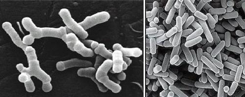 Microrganismi probiotici