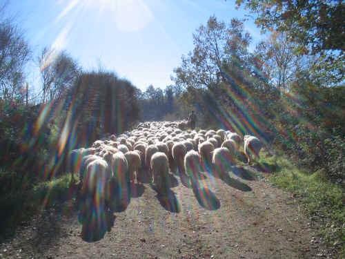 Allevamento ovino in Toscana e razza Sarda