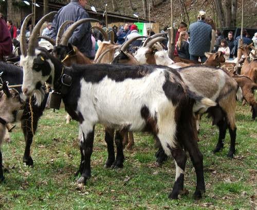 Aspetti di salvaguardia delle attuali razze caprine alpine italiane