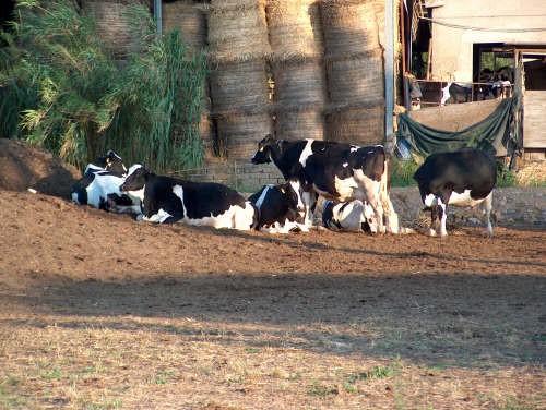 Importanza dell'alimentazione in particolare nella specie bovina