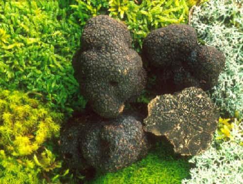 La coltivazione dei tartufi (1^ parte)