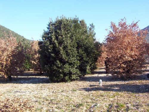 Tartufaia coltivata di Tuber melanosporum