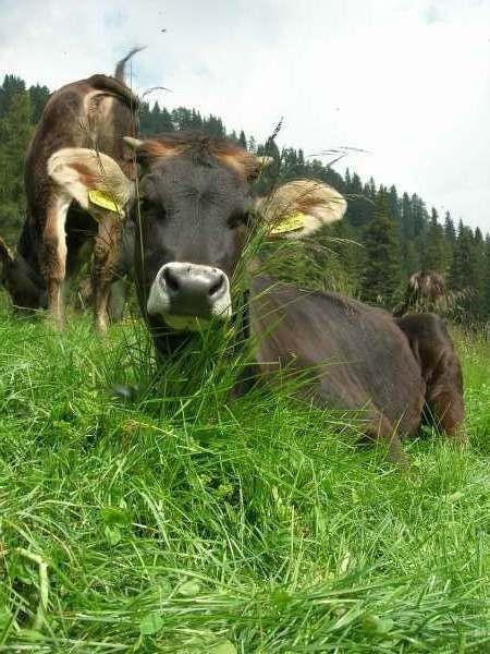 Vacca Rendena