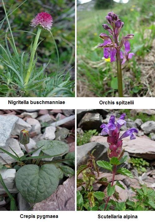Fiori rari del Parco Adamello-Brenta