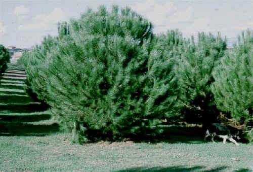 Tartufaia coltivata di Tuber borchii