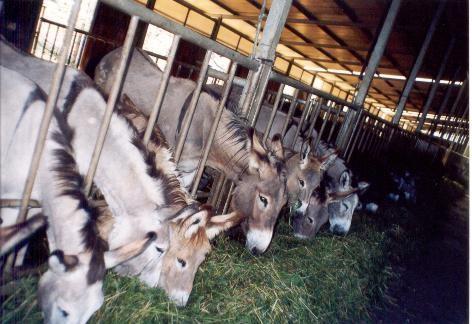 Allevamento delle asine da latte