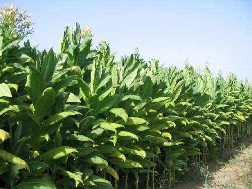 Il tabacco Burley