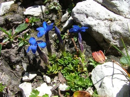 Scoperto un nuovo fiore nel Gruppo di Brenta