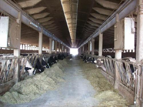 Il pascolo della bovina da latte di pianura