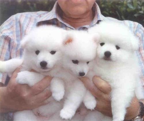 Cuccioli di Spitz Giapponese