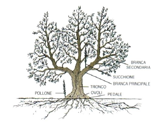 potatura estiva olivo