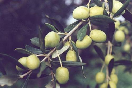 Bianchera-Belica, una varietà di olivo