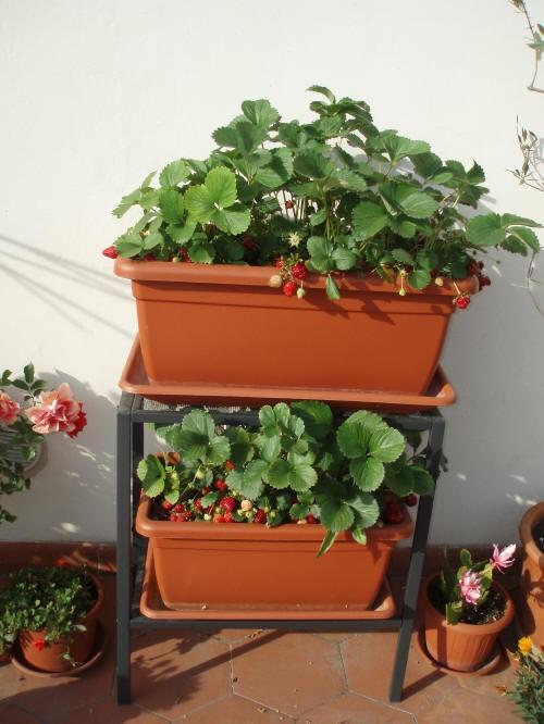 Fragole coltivate in terrazzo