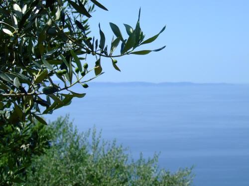 Olivicoltura in Provincia di Trieste