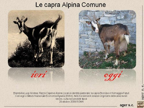 Capra Alpina Comune