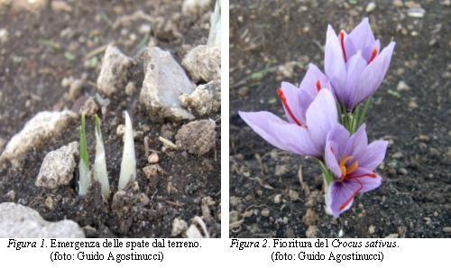 Zafferano – Crocus sativus L.