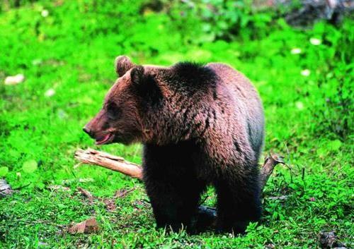 L'orso bruno sulle Alpi