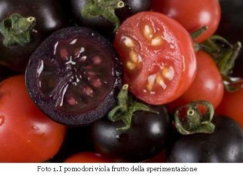 I pomodori viola frutto della sperimentazione