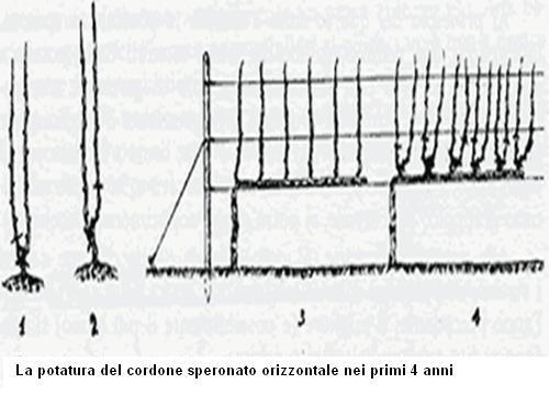 Potatura del Cordone speronato