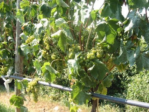 Crioestrazione per la produzione dei vini bianchi