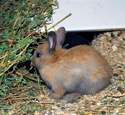 L'alimentazione del coniglio nano