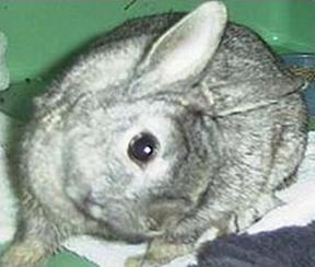 Tipico atteggiamento di coniglio affetto da Pasteurellosi
