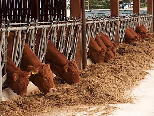 Alimentazione dei vitelloni all'ingrasso