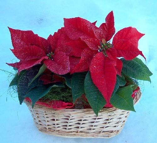 Foto Di Stelle Di Natale.La Stella Di Natale Rivista Di Agraria Org