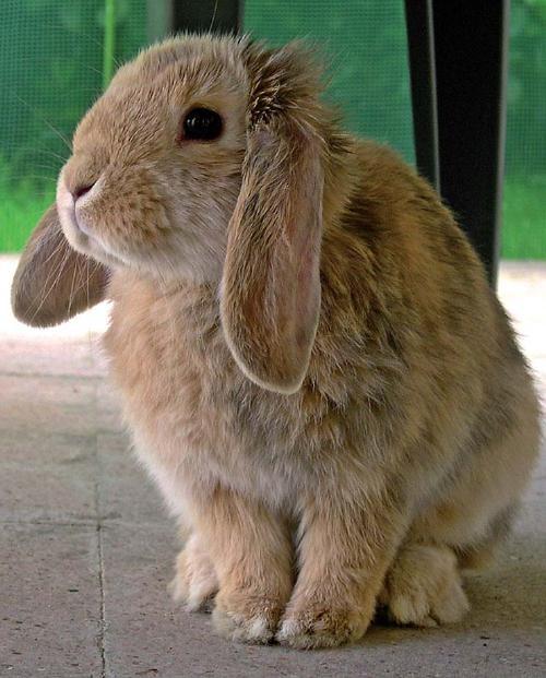 La riproduzione del Coniglio nano