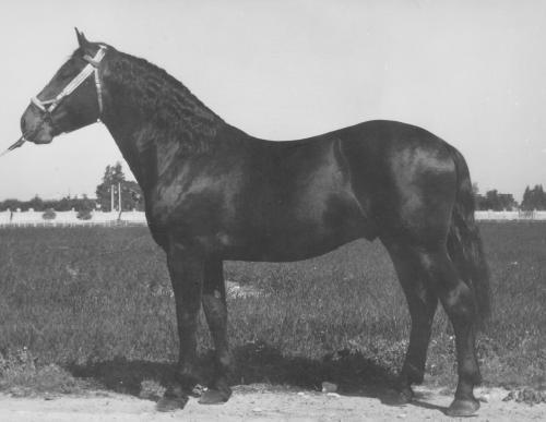 Recupero del cavallo Pugliese del Tavoliere