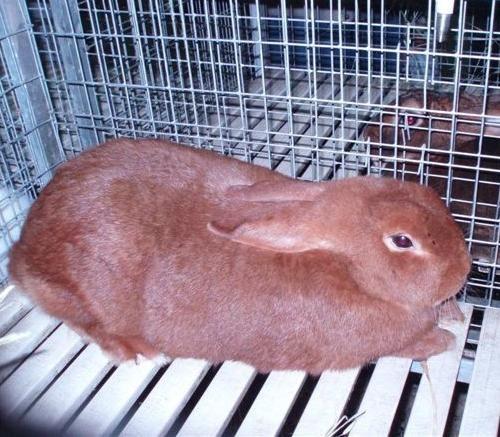 Conigli: nozioni elementari sull'allevamento familiare