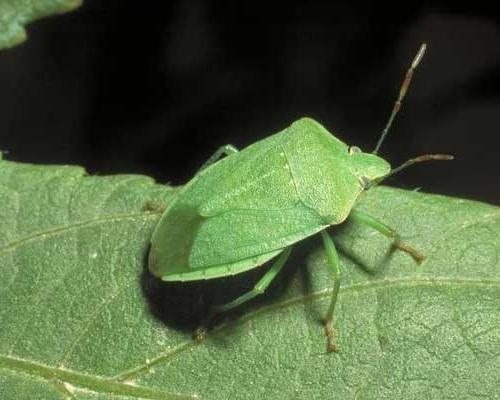 La cimice del pomodoro nezara viridula l rivista di for Cimice insetto